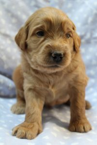 Oregon standard labradoodle puppies available now