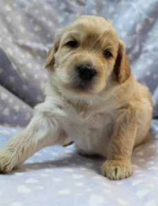 standard labradoodle puppies available now fall puppies