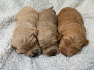 Oregon Labradoodle breeders Washington puppies