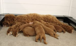Oregon Standard labradoodles puppies now