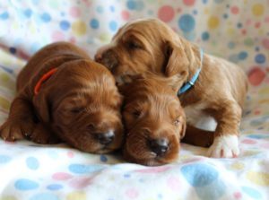 Portland Oregon Labradoodle breeders puppies