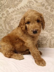 Salem Vancouver Seattle Portland labradoodle puppies available