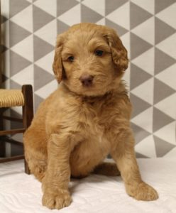 Washington Australian labradoodle breeders Portland Oregon puppies available