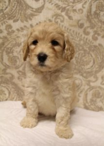 Seattle Vancouver Olympia labradoodle puppies available now