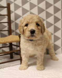 cream standard labradoodles puppies available Oregon
