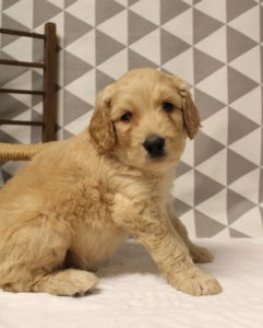 Oregon Australian labradoodles standard puppies