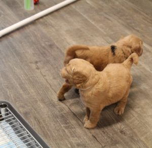 Vancouver Olympia Portland labradoodle puppies available now