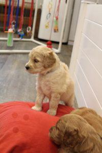 Australian labradoodles standard size pups Oregon