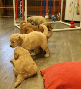 Oregon Australian labradoodle puppies available now