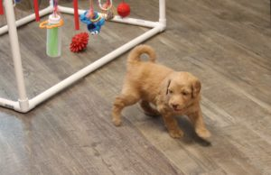 Washington Seattle Portland Salem labradoodle breeders puppies now