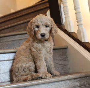 Best Australian Labradoodle breeders puppy culture puppies