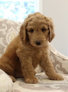 Oregon labradoodles best breeder puppies now