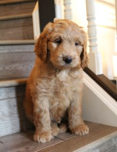 labradoodle puppies available now