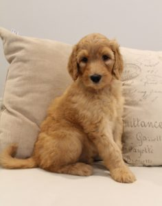 Salem Sherwood Tigard Labradoodle breeders puppies now