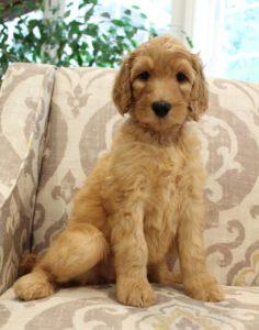 medium labradoodle puppies available Oregon Washington breeders