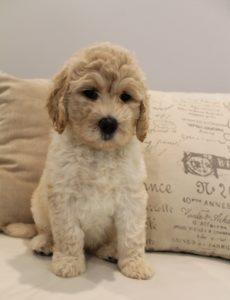 Oregon puppy culture labradoodle breeders