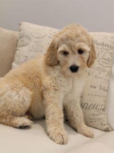 labradoodle puppies medium standard