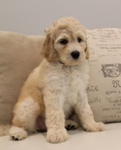 Oregon Australian labradoodle puppies best breeder