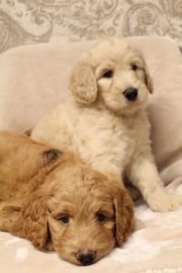 Oregon standard labradoodle breeders puppies available now