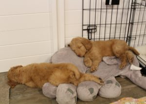 Oregon large labradoodle puppies now