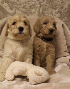 best Oregon puppy breeder labradoodle puppies