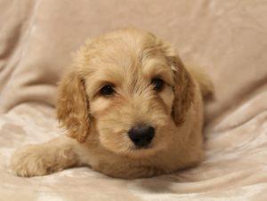 Oregon Puppy Culture puppies