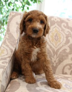 Oregon Australian Labradoodle therapy puppies breeder