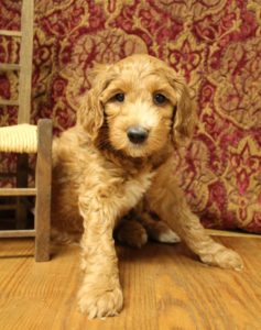 best Oregon labradoodle breeder Biosensor program