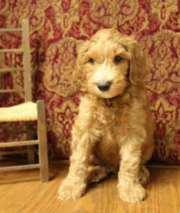 Pacific Northwest labradoodle breeders