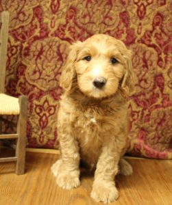 Oregon Puppy Culture labradoodle puppies