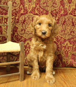 Salem Portland Beaverton Oregon labradoodle breeder