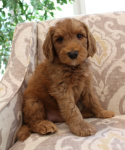 standard labradoodle breeders Washington Oregon