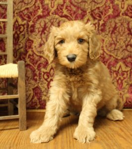 Oregon labradoodles standard size puppies