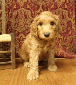 Australian Labradoodles Yamhill County Oregon