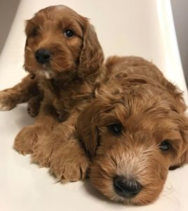 Oregon labradoodles best breeder
