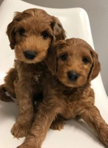 Salem Beaverton Oregon labradoodles