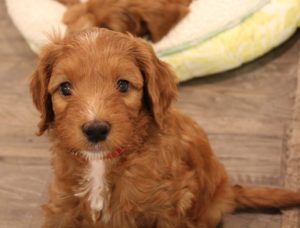 Salem Portland Oregon labradoodle puppy breeders standards