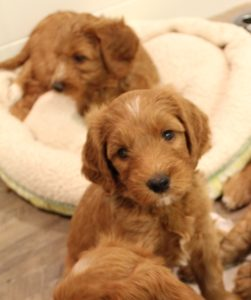 Puppy Culture labradoodle breeders Oregon Washington