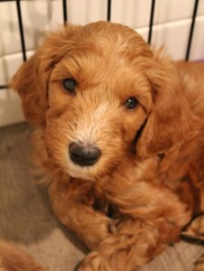 Oregon best labradoodle breeders