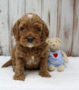 best labradoodle breeder Oregon Washington