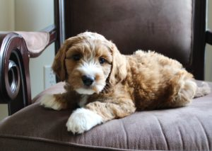 Portland Oregon best labradoodle breeders