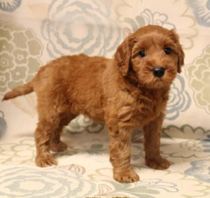 Washington Australian Labradoodle breeders best breeder