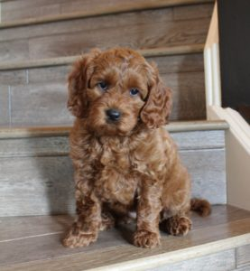 best Oregon Australian Labradoodle breeder