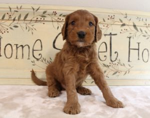Labradoodle breeders puppies now Portland Seattle Vancouver