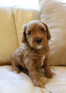 Vancouver Portland Seattle labradoodle puppies now