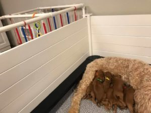 Oregon labradoodle puppies available now standard