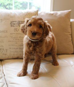 labradoodle puppy breeder Oregon Washington