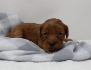 Washington best labradoodle breeder puppies