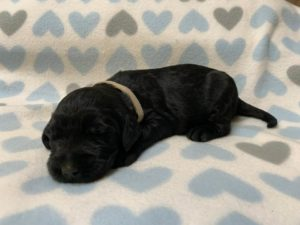 Oregon labradoodle puppies available black standard
