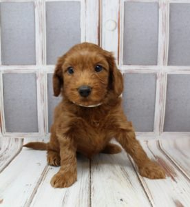 Washington Australian Labradoodle puppies